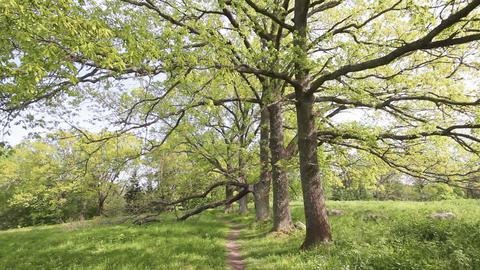 Green oak tree Stock Video Footage