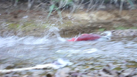 male of humpback salmon Stock Video Footage