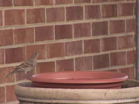 Bird drinking Stock Video Footage