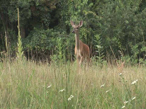 Deer walking toward camera Stock Video Footage