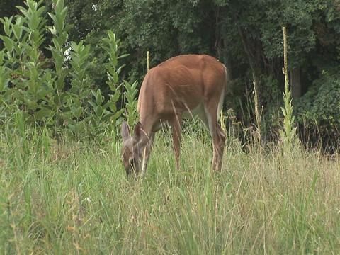 Deer walking toward camera Stock Video Footage