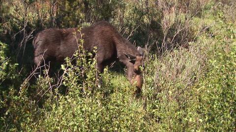 Moose eating Footage