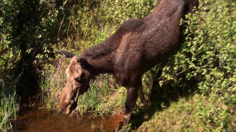 Moose drinking Stock Video Footage