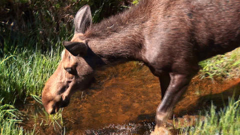 Moose drinking Footage