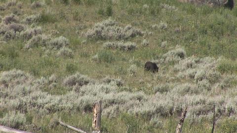 Black bear Footage
