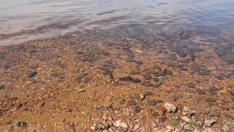 spawning of a bleak (Alburnus alburnus) Stock Video Footage