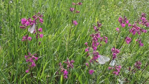 Butterflies on flower field in summer 12 Stock Video Footage