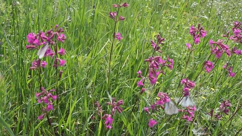 Butterflies on flower field in summer 12 Footage