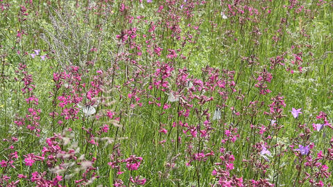 Butterflies on flower field in summer 10 Live Action