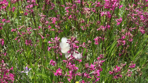 Butterflies on flower field in summer 1 Stock Video Footage