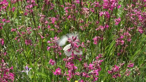 Butterflies on flower field in summer 1 Footage