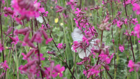 Butterflies on flower field in summer 8 Stock Video Footage