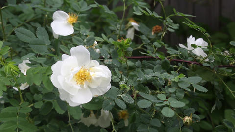 White dog-rose bush Footage