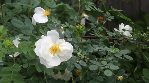 White dog-rose bush Stock Video Footage