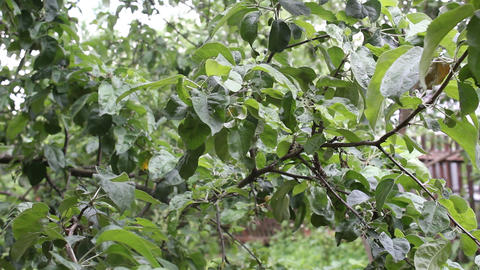 A branch of an apple-tree sways in the wind 4 Stock Video Footage