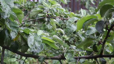Young apples on a tree branch. Overcast Stock Video Footage