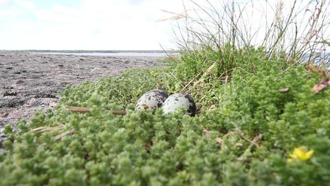 Arctic tern (Sterna paradisaea) Footage