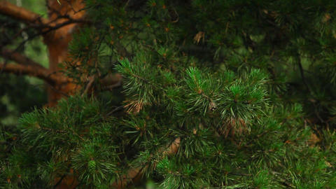 Pine-tree stock footage