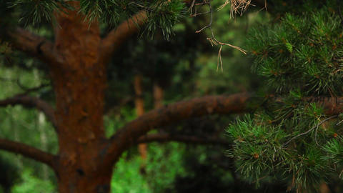 Pine-tree Stock Video Footage