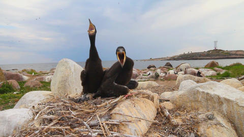 Baby birds of a cormorant Footage