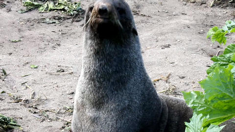 Northern fur seal (Callorhinus ursinus) Stock Video Footage