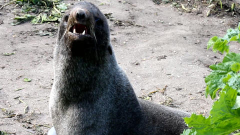 Northern Fur Seal (Callorhinus Ursinus) stock footage
