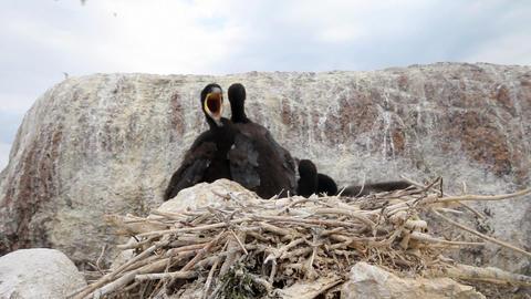 Baby birds of a cormorant Stock Video Footage