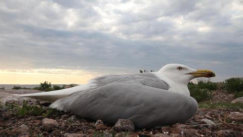 Seagull Ill stock footage