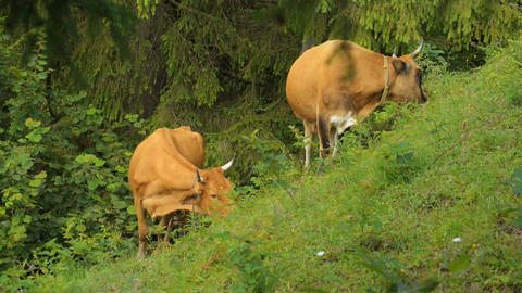 Cows graze in the mountains Carpathians Footage