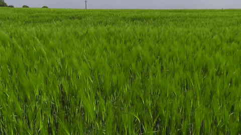 Dolly shot through beautiful green corn field Stock Video Footage