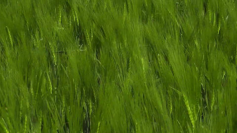 Dolly shot through beautiful green corn field Footage