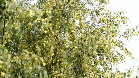 Birch tree Stock Video Footage