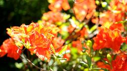 Red Azalea Footage