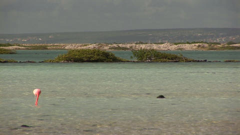 Flamingo's on Bonaire Footage