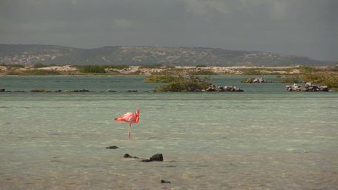 Flamingo in salt pan Stock Video Footage