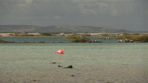 Flamingo in salt pan Stock Video Footage