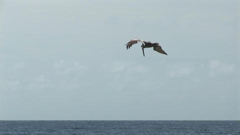 A diving pelican Stock Video Footage