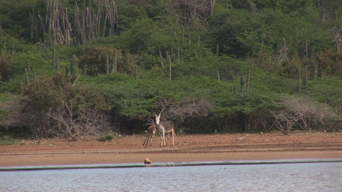 Two donkeys Footage