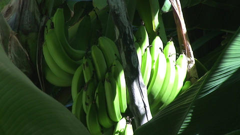 Trinidad Bananas in a tree sunlight Stock Video Footage