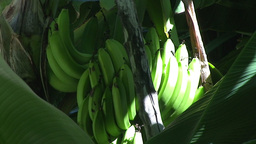 Trinidad Bananas in a tree sunlight Footage