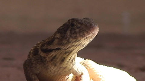 Trinidad Lizards in the street close up 2 Stock Video Footage