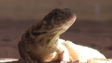 Trinidad Lizards in the street close up 2 Footage