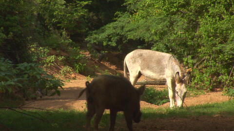 Donkey and hog Stock Video Footage