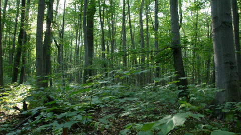 Underwood of a beech forest with warm sunshine in Stock Video Footage