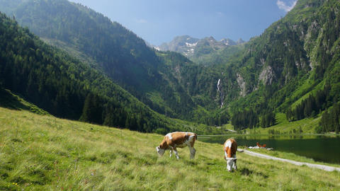 Cows in Austrian Alps Stock Video Footage