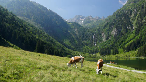 Cows in Austrian Alps Footage