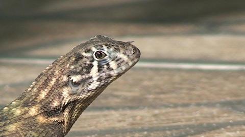 Cuba lizard CU on the street 3 Stock Video Footage