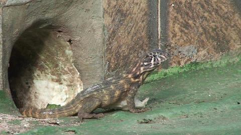 Cuba lizard on the street Stock Video Footage