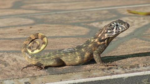 Cuba lizard on the street 3 Stock Video Footage