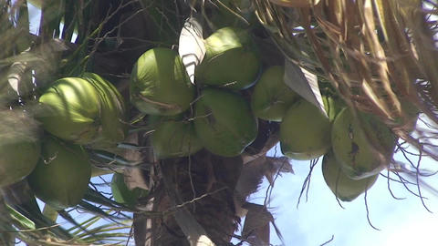 Varadero Coconuts in palmtree Stock Video Footage